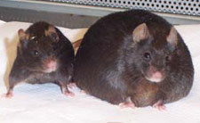 Mice without the leptin gene are morbidly obese (right) compared to normal mice (left). (University of Oregon.)